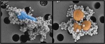 Genetically engineered protein-coated magnetic beads binding to pathogens